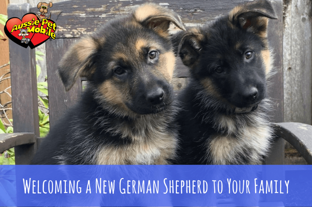Welcoming A New German Shepherd To Your Family Aussie Pet Mobile Rhode Island And Ne Connecticut